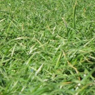 Afterburner Annual Ryegrass